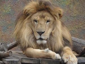 Los leones también tienen pulgares O.o Le%C3%B3n-300x225